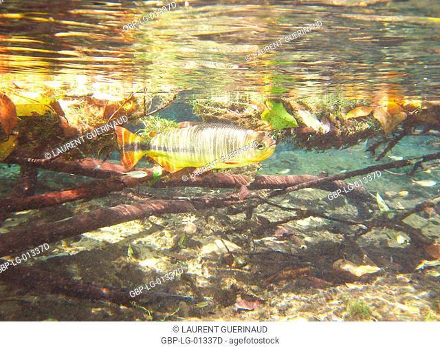 Fish, Piraputanga, Brycon hilarii, Bonito, Mato Grosso do Sul, Brazil