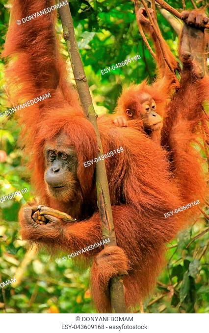 Female Sumatran orangutan with a baby hanging in the trees, Gunung Leuser National Park, Sumatra, Indonesia. Sumatran orangutan is endemic to the north of...