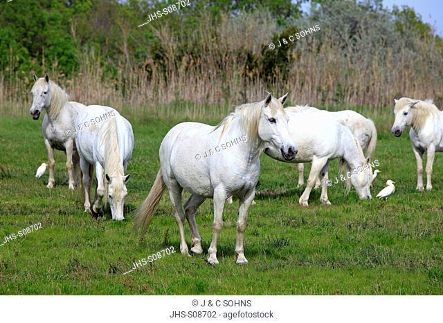 Camargue Horse,Equus caballus,Saintes Marie de la Mer,France,Europe,Camargue,Bouches du Rhone,group