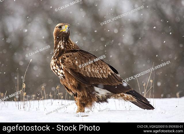 Golden Eagle, Aquila chrysaetos, perched in the snow on a forest floor under a snowfall
