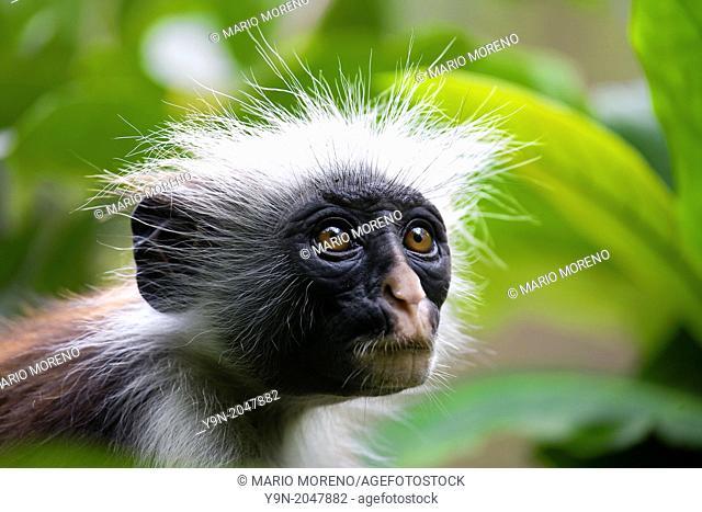 Red Colobus Monkey Jozani Forest Zanzibar