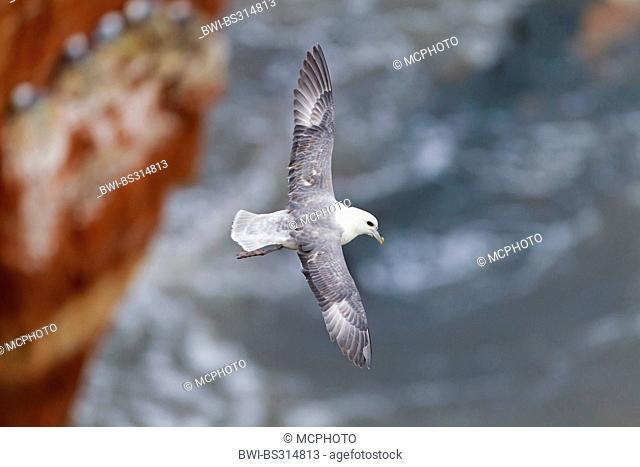 northern fulmar (Fulmarus glacialis), flying at the bird rock, Germany, Schleswig-Holstein, Heligoland