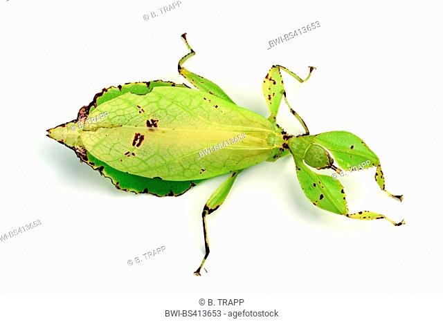 Celebes Leaf Insect, leaf insect, walking leave (Phyllium celebicum), female, cutted out