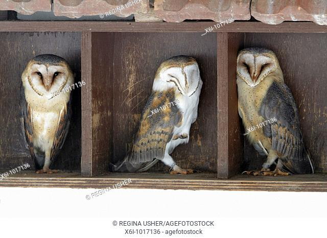 Barn Owl, Tyto alba, three resting during daytime, in building, Germany
