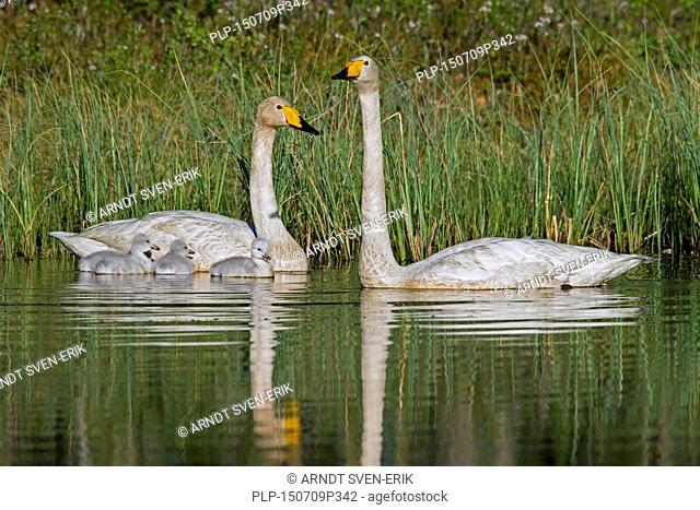 Whooper swan (Cygnus cygnus) parents swimming in lake with cygnets in spring in Scandinavia