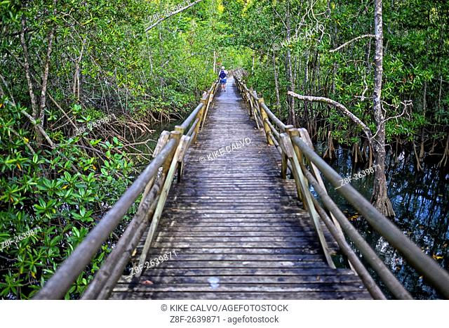 Utria National Park. Estero Sector with Tea mangroves ( Pelliciera rhizophorae )