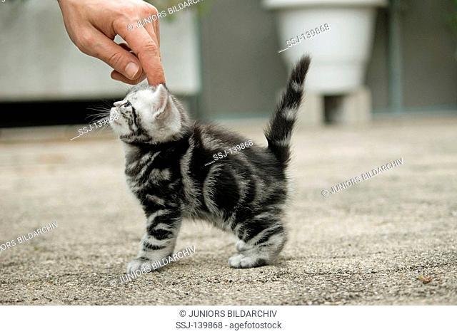 british shorthair - kitten beeing crawled