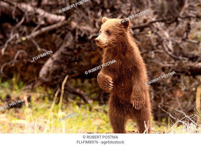 Grizzly bear cub standing, Yukon