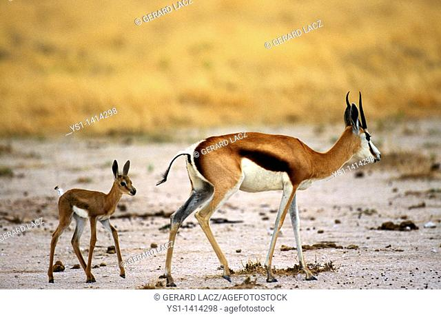 SPRINGBOK antidorcas marsupialis, FEMALE WITH YOUNG