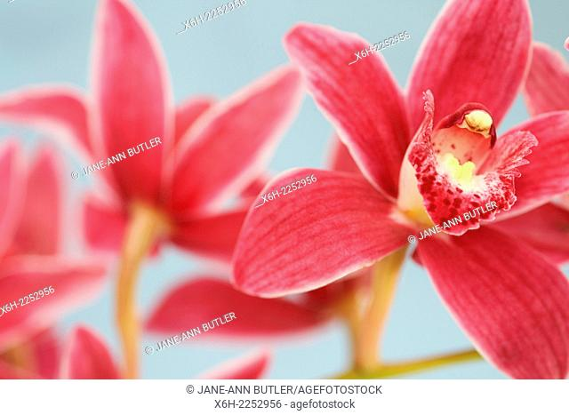 the cymbidium orchid often used as a symbol of Spring