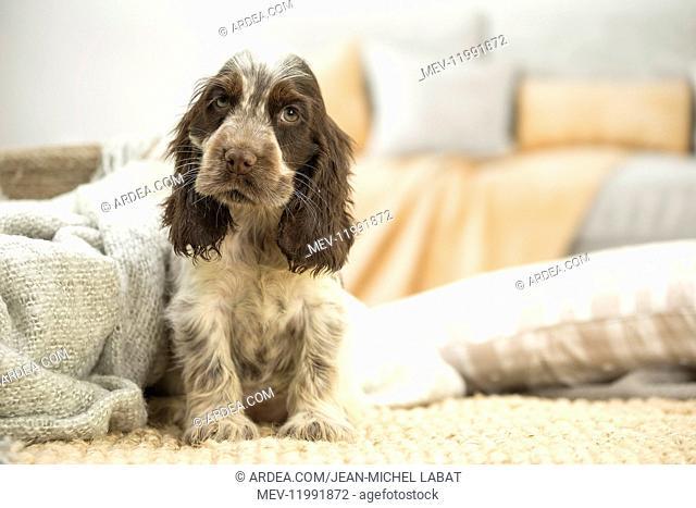 English Cocker Spaniel puppy indoors