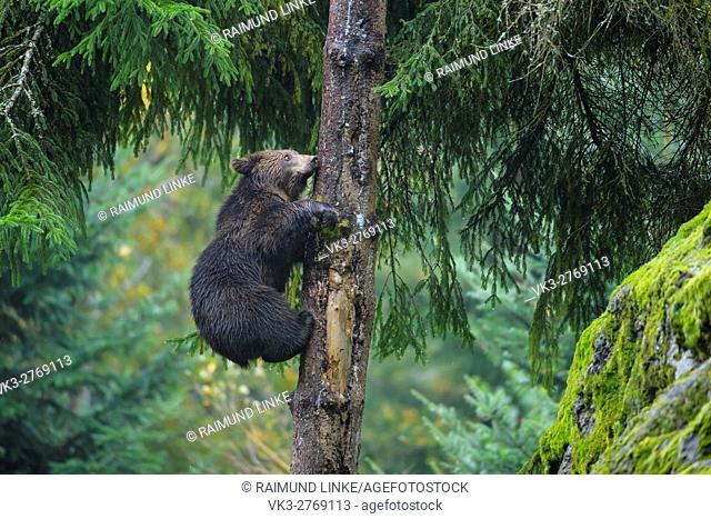Brown Bear, Ursus arctos, Cub in tree, Bavaria, Germany