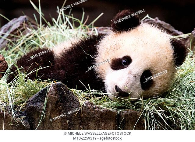 Giant Panda cub waking up from a nap laying in the straw