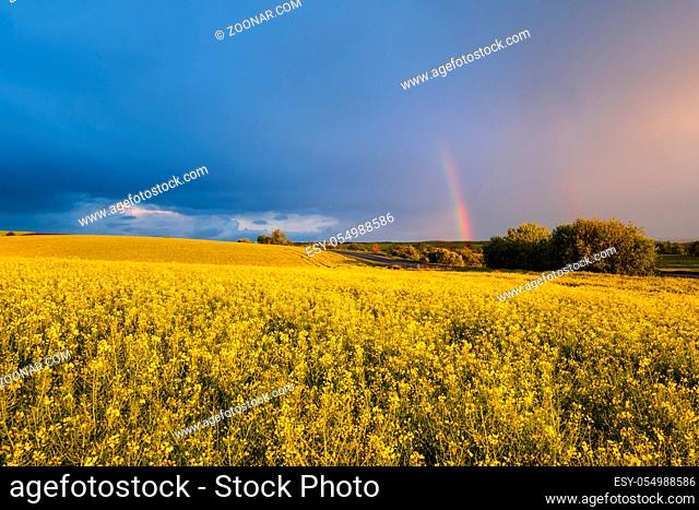 Spring rapeseed yellow fields after rain, cloudy pre sunset evening sky with colorful rainbow, rural hills. Natural seasonal, weather, climate