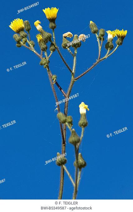 Marsh sow-thistle (Sonchus palustris), blooming, Germany