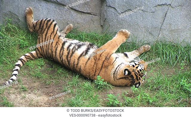 Tiger rolling over