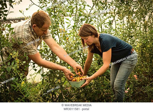 Two farmers harvesting vegetables