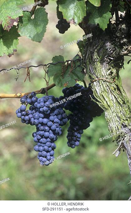 Mencia grapes