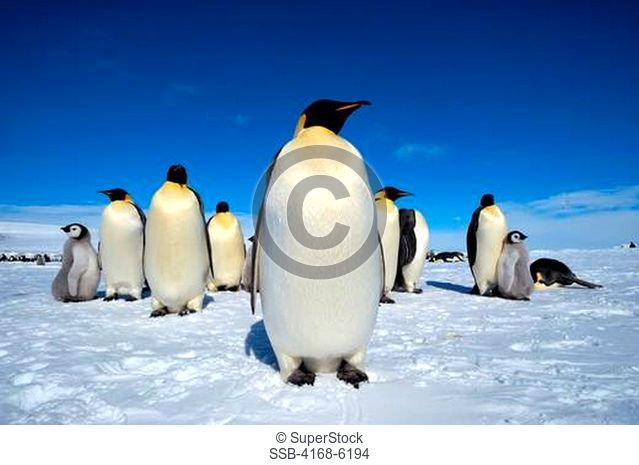ANTARCTICA, WEDDELL SEA, SNOW HILL ISLAND, EMPEROR PENGUIN COLONY Aptenodytes forsteri, PENGUINS ON ICE