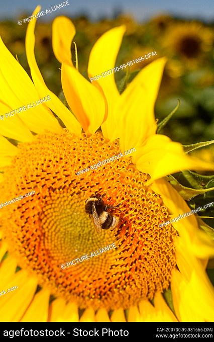 30 July 2020, Saxony-Anhalt, Schleibnitz: A bumblebee is sitting on a blooming sunflower. Midsummer has arrived in the country