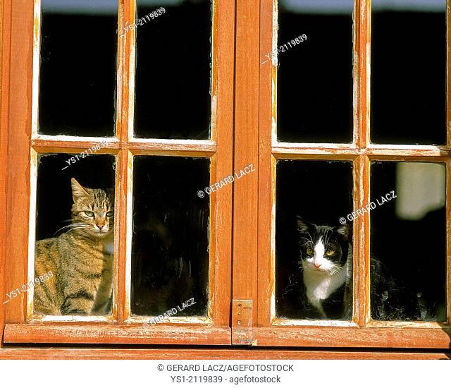 Domestic Cat behing Window