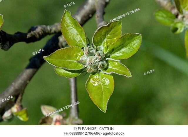 Cultivated Apple, Malus domestica, green apple buds of flowers and leaves, green cluster, opening in spring sunshine on tree, Berkshire, England, April