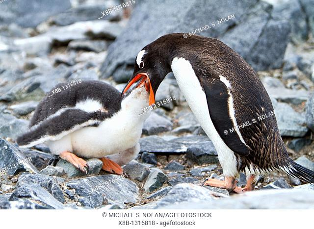 Gentoo penguins Pygoscelis papua adult feeding chick in Antarctica, Southern Ocean  MORE INFO The gentoo penguin is the third largest of all penguins worldwide