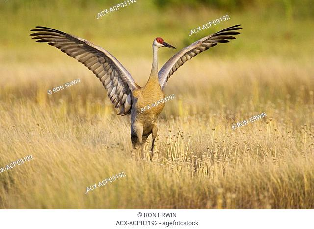 A Sandhill Crane Grus canadensis with its wings extended, Barrie Island, Manitoulin Island, Ontario, Canada