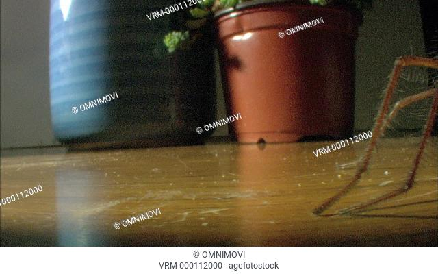 Giant House Spider on floor with flower pots behind