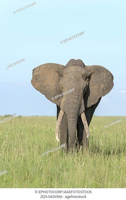 African Elephant, Maasai Mara, Africa