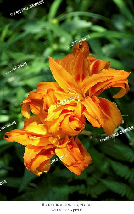 Two blooming orange double daylilies in the shade