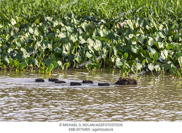 Adult capybara, Hydrochoerus hydrochaeris, with young, Porto Jofre, Mato Grosso, Pantanal, Brazil