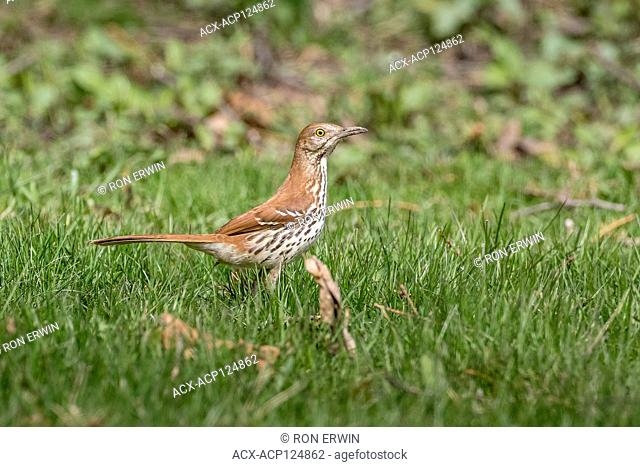 Brown Thrasher (Toxostoma rufum) in a backyard in Toronto, Ontario, Canada