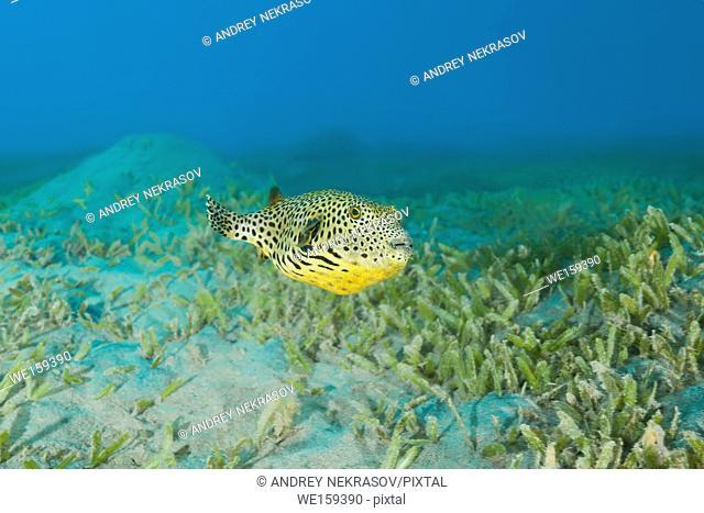 Juvenile Star Pufferfish (Arothron stellatus) swim over bottom with sea grass