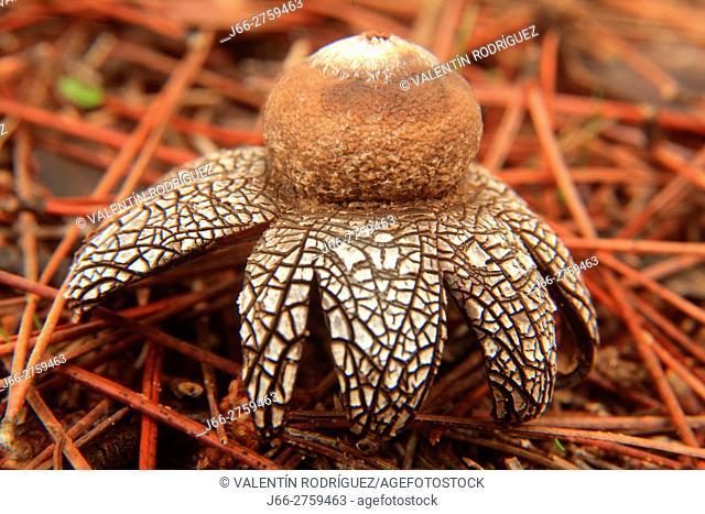 Fungus Geastrum in Aras de los Olmos. La Serranía region. Valencia