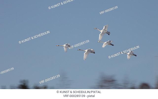 Spring in Sweden – the migrating birds are returning to their breeding areas. Whooper swans (Cygnus cygnus) are flying through a blue sky