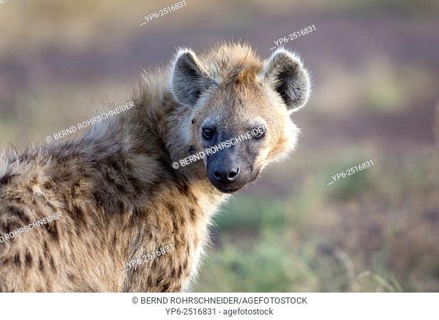 Spotted Hyena (Crocuta crocuta), Masai Mara, Kenya