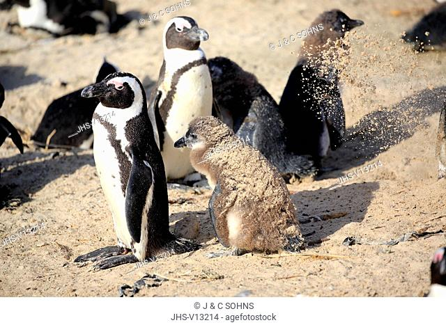 Jackass Penguin, African penguin, (Spheniscus demersus), adult with youngs at beach, sandbath, Boulders Beach, Simonstown, Western Cape, South Africa, Africa