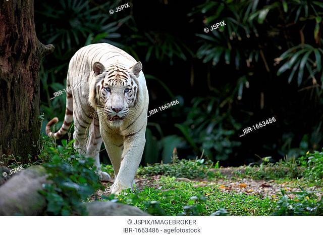 Bengal tiger or Royal Bengal tiger (Panthera tigris tigris), running adult, India, Asia