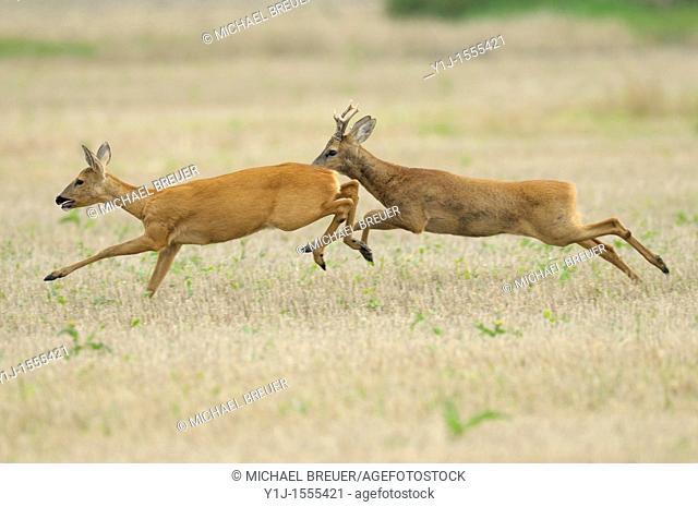 Running Roe deers, Capreolus capreolus, Hessen, Germany, Europe