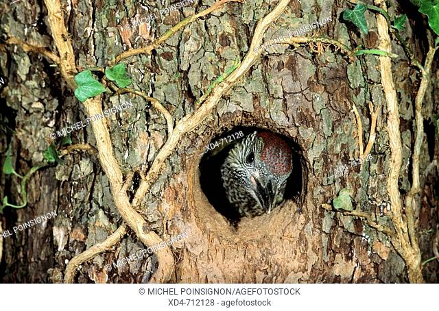 Green Woodpecker (Picus viridis) chick looking out of nest hole. Lorraine, France