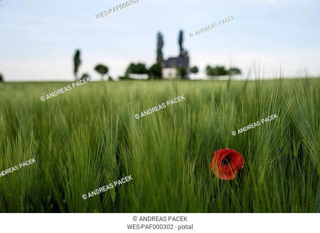 Germany, Rhineland-Palatinate, Vulkan Eifel, Mertloch, wheat field with single poppy blossom (Papaver rhoeas) in front of Holy Cross Chapel