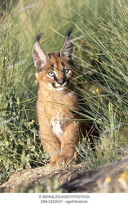 Caracal (Caracal caracal), Occurs in Africa and Asia, Young animal 9 weeks old, in the grass, Captive