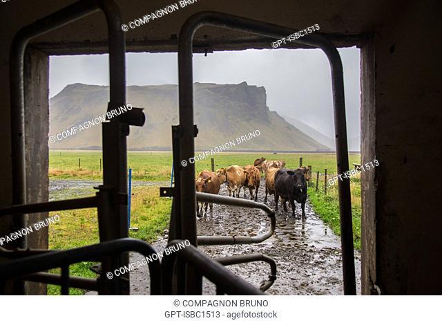 COWS ON A FARM NEAR THE EYJAFJALLAJOKULL VOLCANO, THORVALDSEYRI, HVOLSVOLLUR, SOUTHERN ICELAND, EUROPE