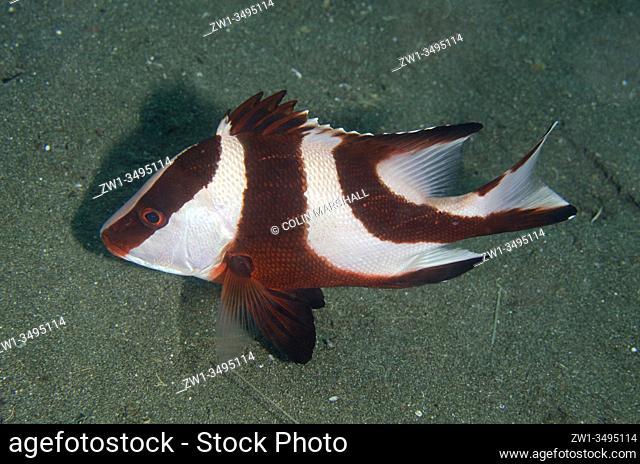 Red Emperor Snapper (Lutjanus sebae), Kobe Reef dive site, Weda, Halmahera, North Maluku, Indonesia, Halmahera Sea