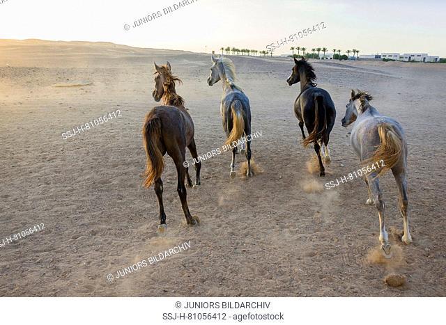 Arabian Horse. Herd of juvenile mares galloping in the desert in evening light. Egypt