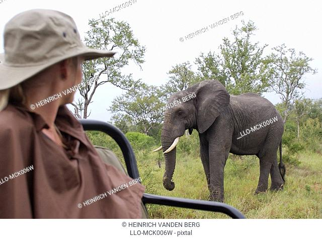 Woman Watching an African Elephant Loxodonta africana from an Open Game Vehicle  Elephant Plains Game Lodge Sabi Sands, Mpumalanga Province, South Africa