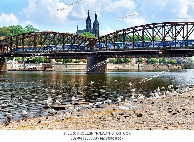 Swans near Railway bridge with the view on St Peter and Paul cathedral in Prague