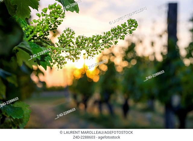 Grape vine in blossom in the Chinon's vineyards. Chinon, Indre-et-Loire, Centre region, Loire Valley, France, Europe