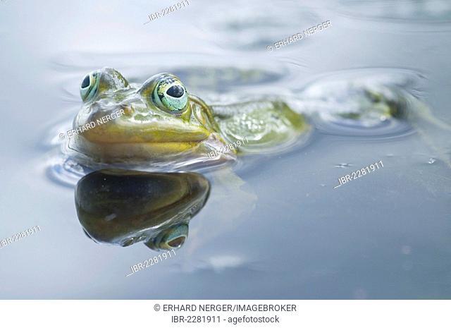 Edible frog, water frog or green frog (Rana esculenta), Haren, Emsland region, Lower Saxony, Germany, Europe